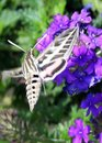 Free Butterfly Moth Royalty Free Stock Images - 4582259