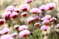 Free Pink Field 2 Stock Photos - 4580673