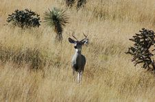 Free Mule Deer Royalty Free Stock Photos - 4581218