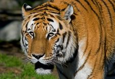 Free Siberian Tiger Royalty Free Stock Photos - 4581278