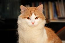 Free Young Domestic Cat Portrait Stock Photos - 4581413