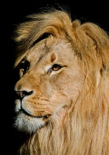 Free African Lion Royalty Free Stock Images - 4581459