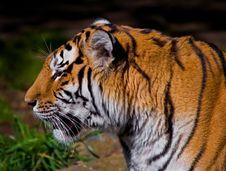 Free Siberian Tiger Stock Image - 4581531