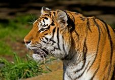 Free Siberian Tiger Royalty Free Stock Image - 4581556