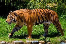 Free Siberian Tiger Stock Photos - 4581643