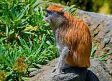 Free Patas Monkey Stock Image - 4581671