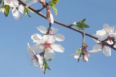 Blossom Branch Stock Image