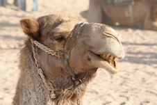 Free Camel Head Royalty Free Stock Image - 4581756