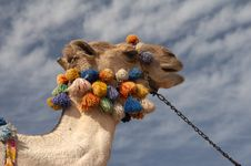 Free Camel Head Stock Photos - 4581763