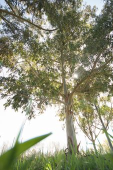 Free Eucalyptus From The Grass Royalty Free Stock Photo - 4582685