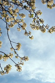 Free Blooms Against Blue Sky Royalty Free Stock Photos - 4583128
