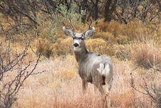Free Mule Deer Royalty Free Stock Photos - 4583258