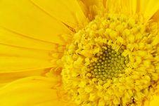 Free Yellow Gerber Stock Photos - 4583333