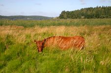 Free Cow In High Grass Royalty Free Stock Photo - 4583495