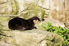 Free Asian Short Clawed Otter Stock Image - 4584421