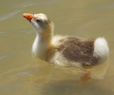 Free Gosling Stock Photography - 4585902