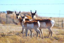 Free Three Antelope Stock Images - 4586304
