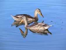 Free Two Duck On Water Royalty Free Stock Image - 4586756