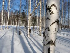 Free Birch Forest Royalty Free Stock Images - 4587389