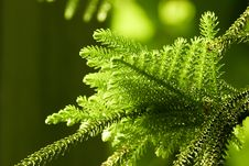 Free Close Up Of Fir Twig Stock Image - 4589901