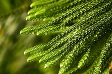 Free Close Up Of Fir Twig Stock Images - 4589904