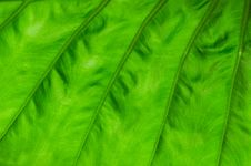 Free Green Leaf Texture Background Royalty Free Stock Photo - 45820155