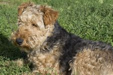 Free Dog - Welsh Terrier Royalty Free Stock Photo - 45875325