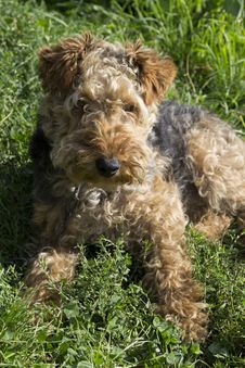 Free Dog - Welsh Terrier Stock Photo - 45875370