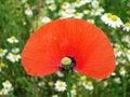Free Poppy Field Stock Photos - 4591203
