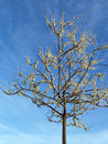 Free Lone White Redbud Tree; Spring Royalty Free Stock Photography - 4594267