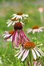 Free Echinacea Purpurea Royalty Free Stock Photo - 4598185