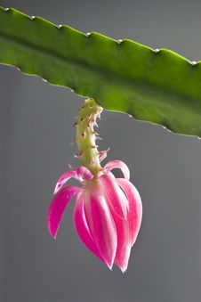 Free Cactus Flowers Royalty Free Stock Photos - 4590808