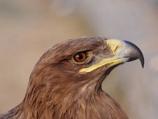 Free Gold Eagle Stock Images - 4590994