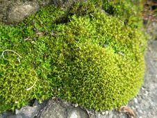Green Moss Closeup Royalty Free Stock Image