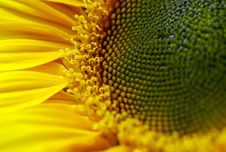Free Sunflower Stock Images - 4591124