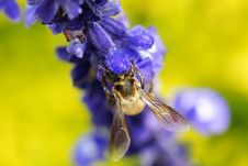 Free Bee In Love With Flowers Royalty Free Stock Photos - 4591598
