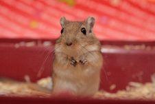 Free Rat Royalty Free Stock Image - 4591736