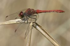 Free Dragonfly Royalty Free Stock Photography - 4592857
