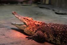 Crocodile Warming At The Zoo Stock Image