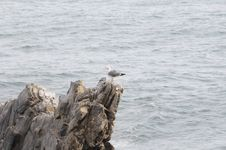 Free Gull Waits On A Rock Royalty Free Stock Photography - 4594127