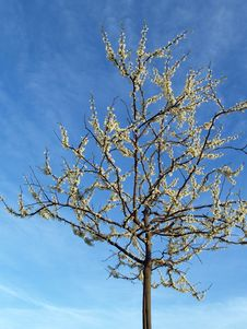 Free Lone White Redbud Tree; Spring Royalty Free Stock Photography - 4594267