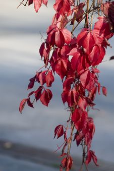 Free Red Leafs Royalty Free Stock Images - 4594589