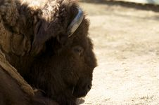 Free Bison At The Zoo Stock Images - 4595174