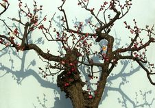 Plum Is Blossoming -2 Stock Photo