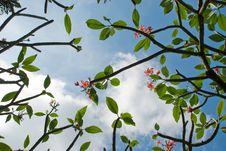 Free Frangipani Tree Royalty Free Stock Photo - 4595825