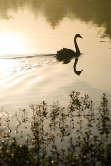 Free Silhouette Of Black Swan Royalty Free Stock Photography - 4596107