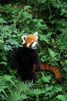 Free Lesser Panda Stock Image - 4596231