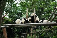 Free Giant Panda Royalty Free Stock Image - 4596286