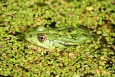 Free Green Frog Royalty Free Stock Image - 4597796