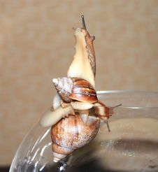 Free Two Wet Snails Royalty Free Stock Photography - 4597807